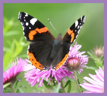 rsz_1rsz_butterfly_admiral_red_admiral_2
