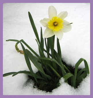 rsz_daffodil_in_the_snow_185058