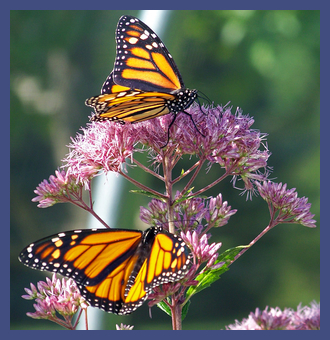 rsz_monarch_butterflies_on_a_flower